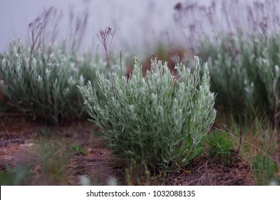 Sagebrush (Artemisia tridentata) . Silver leaf plant
