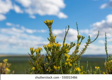 Sagebrush blooming in the Oregon desert steppe during spring