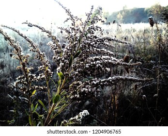 Sagebrush in the cold autumn morning