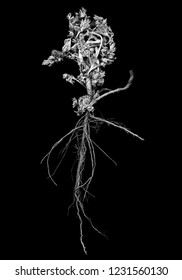 Sagebrush with roots close up, black and white image