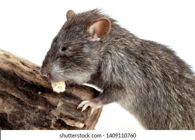 Sagebrush vole eating corn isolated on white background