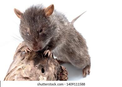 Sagebrush vole isolated on white background
