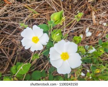 Sage-leaved rock-rose, salvia cistus or jaguarzo, Cistus salviifolius, growing in Galicia, Spain