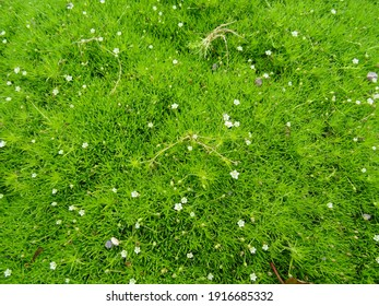 Sagina subulata (heath pearlwort, Irish-moss, awl-leaf pearlwort or Scottish moss).