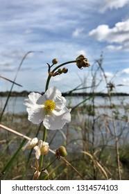 Sagittaria lancifolia in bloom in a Florida lake.