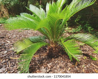 Sago palm (Cycas revoluta) in ornamental garden
