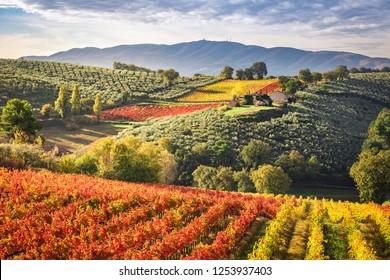 Sagrantino vineyards during sutumn, Montefalco, Perugia, Italy