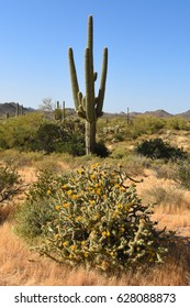 Saguaro and blooming cholla in Lost Dutchman state park outside Phoenix, Arizona