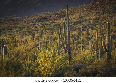 Saguaro cacti dot the sonoran desert landscape of Saguaro National Park outside of Tuscon, Arizona