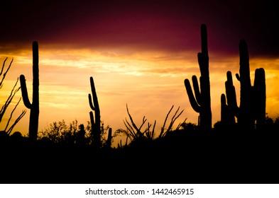 Saguaro cacti during the Arazonian sunset