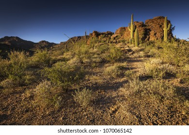 Saguaro cacti in the sonoran desert landscape of Saguaro National Park outside of Tuscon, Arizona