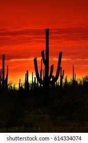Saguaro cactus against bright red sky