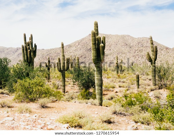 Saguaro Cactus Arizona Arid Desert Land Stock Photo (Edit