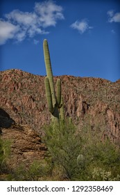 saguaro cactus in arizona with a blue sky
