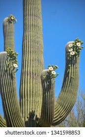 Saguaro cactus blooming in the springtime in the Arizona desert.