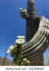 Saguaro cactus blooming in springtime in the desert in Arizona.