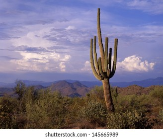 Saguaro cactus, blooms, ribs, arms, and desert life/ saguaros/Only in the Southwest of the USA and the northern part of Mexico can this the worlds largest cactus be found.