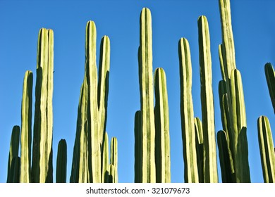 Saguaro Cactus Branches against blue sky