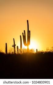 Saguaro cactus cacti at sunset silhouette