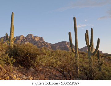 A saguaro cactus in Catalina State Park in Tuscon, Arizona under a beautiful blue sky and showing a lush green undergrowth in springtime