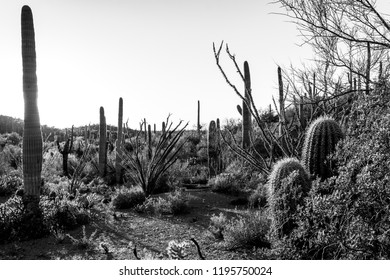 Saguaro cactus, cholla, prickly pear and other cacti fill this southwestern scenic landscape. Ocotillo, brittle bush and other plants of the Sonoran desert near Tucson, Arizona. Winter of 2018.