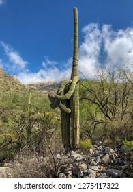 Saguaro cactus in the desert of Tucson. The cacti looks like they are hugging.