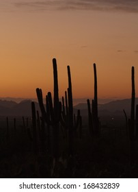 Saguaro Cactus at dusk in Tucson, Arizona