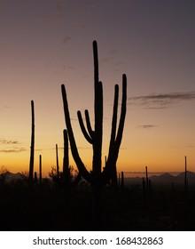 Saguaro Cactus at dusk in Tucson, Arizona