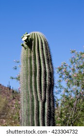 Saguaro cactus with flower
