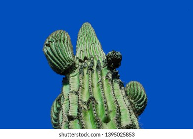 Saguaro cactus isolated on clear blue sky background in Arizona, tall southwestern cacti with flowering blooms in desert near Phoenix