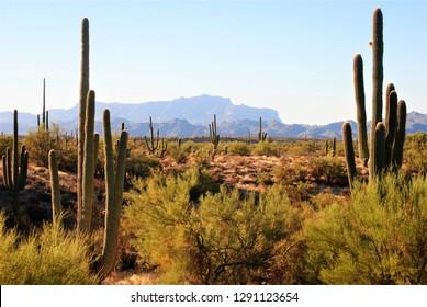 Saguaro Cactus Landscape