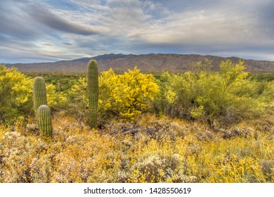 Saguaro Cactus Landscape. Saguaro cacti in the Sonora Desert at the Saguaro National Park with the Tucson Mountains in the background.