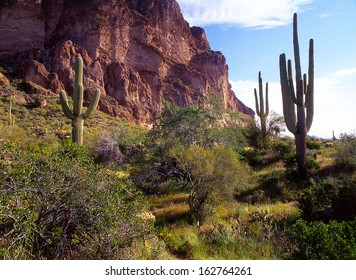 Saguaro Cactus, the largest cactus in the world grow to be about fifty feet high and can hold a ton of water in its trunk./saguaro/ The lost Goldmine trail in the Superstition Area Land Trust Arizona.