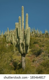 Saguaro Cactus, the largest in the world, grow in Arizona and northern Mexico/Saguaro forest/On the mountains north and east of Phoenix, grow saguaro forests of great numbers and size.