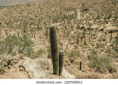 Saguaro Cactus in Saguaro National Park East in Tuscon Arizona