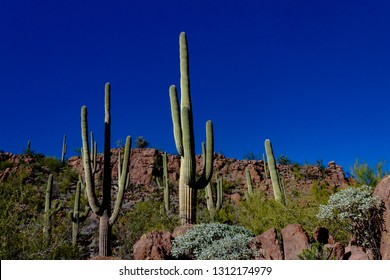 Saguaro Cactus in Saguaro National Park west of Tucson, Arizona. Tall cacti in the Sonoran Desert on a hillside with rocky cliffs, brittle bush, palo verde trees, and blue sky. Pima County, USA.