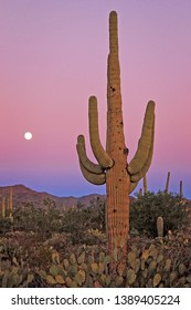 Saguaro Cactus in Saguaro National Park West during sunset with a pink sky and full moon  in the distance. Mountains are in the background and Prickly Pear cacti at the base of the Saguaro.