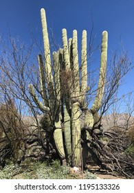 Saguaro cactus, an old giant.  In Tuscon, Arizona.