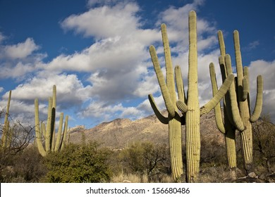 Saguaro cactus on the mountainside in Tuscon, Arizona