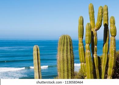 Saguaro cactus plants (Carnegiea gigantea) overlooking the ocean in San Diego, California.