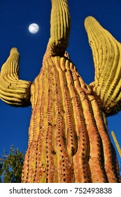 Saguaro Cactus reaching to the sky near Tucson Arizona