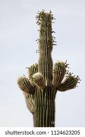 Saguaro cactus in Scottsdale, Arizona