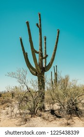 Saguaro Cactus in the Sonoran Desert in Saguaro National Park in Tuscon, Arizona, USA