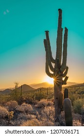 Saguaro Cactus at sunrise in Saguaro National Park West in Tuscon Arizona