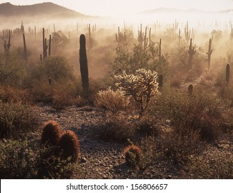 Saguaro cactus are the symbol of the southwest in the USA./Saguaros/ The saguaro lives on the desert 75 years before it develops an arm. That makes these saguaros over one hundred years old.