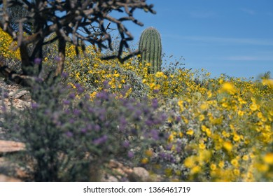 Saguaro cactus and yellow blooming wildflowers in Tucson, Arizona