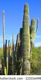 Saguaro (Carnegiea gigantea) is an arborescent (tree-like) cactus species in the monotypic genus Carnegiea, which can grow to be over 40 feet (12 m) tall
