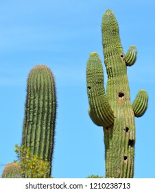 Saguaro (Carnegiea gigantea) is an arborescent (tree-like) cactus species in the monotypic genus Carnegiea, which can grow to be over 40 feet (12 m) tall.