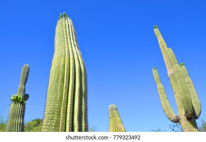 The saguaro (Carnegiea gigantea) is an arborescent (tree-like) cactus species in the monotypic genus Carnegiea, which can grow to be over 40 feet (12 m) tall