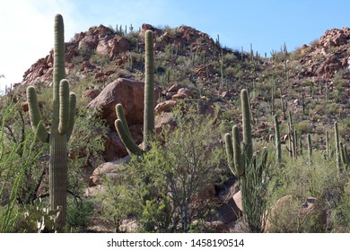 Saguaro, Cholla Cacti, Ocotillo and Palo Verde on a rocky mountainside at Sus Picnic Area in Saguaro National Park, West, Arizona, USA